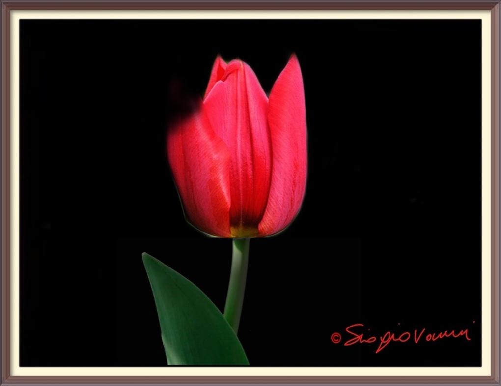 21 - Tulipano